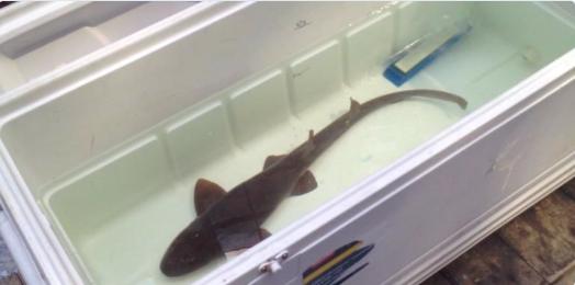 shark1_1