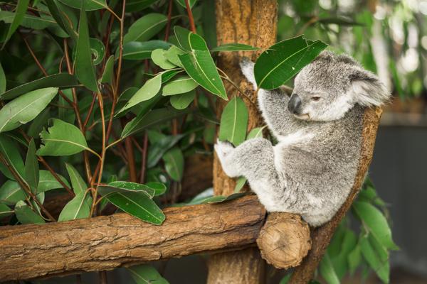 Australian koala outdoors in a eucalyptus tree